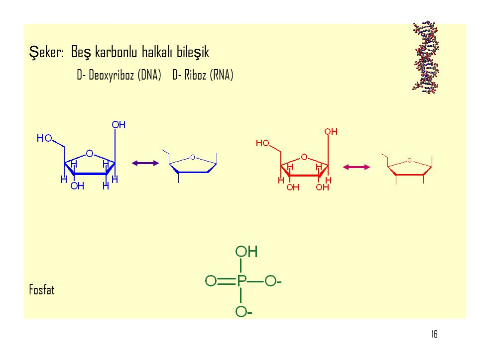 16 Ş eker: Be ş karbonlu halkalı bile ş ik D- Deoxyriboz (DNA)D- Riboz (RNA) Fosfat