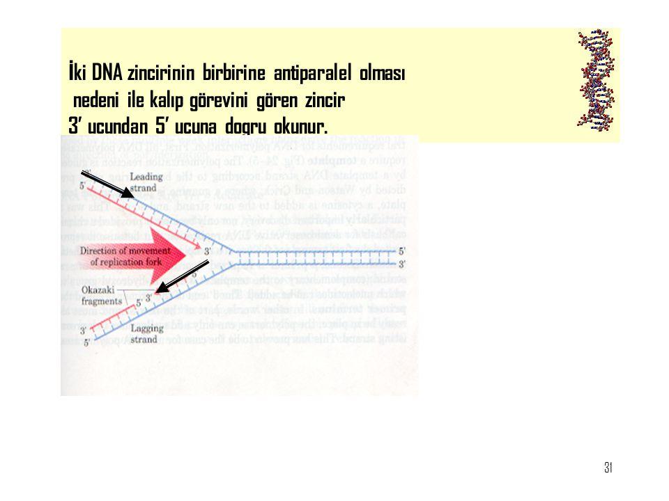 31 İ ki DNA zincirinin birbirine antiparalel olması nedeni ile kalıp görevini gören zincir 3' ucundan 5' ucuna dogru okunur.