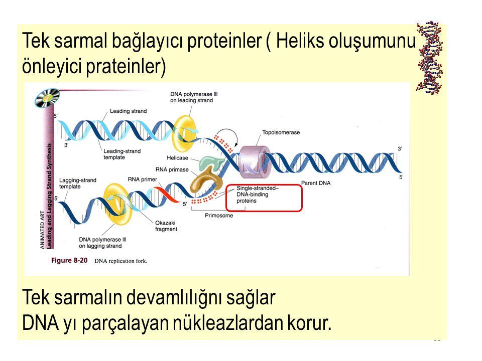 35 Tek sarmal bağlayıcı proteinler ( Heliks oluşumunu önleyici prateinler) Tek sarmalın devamlılığnı sağlar DNA yı parçalayan nükleazlardan korur.