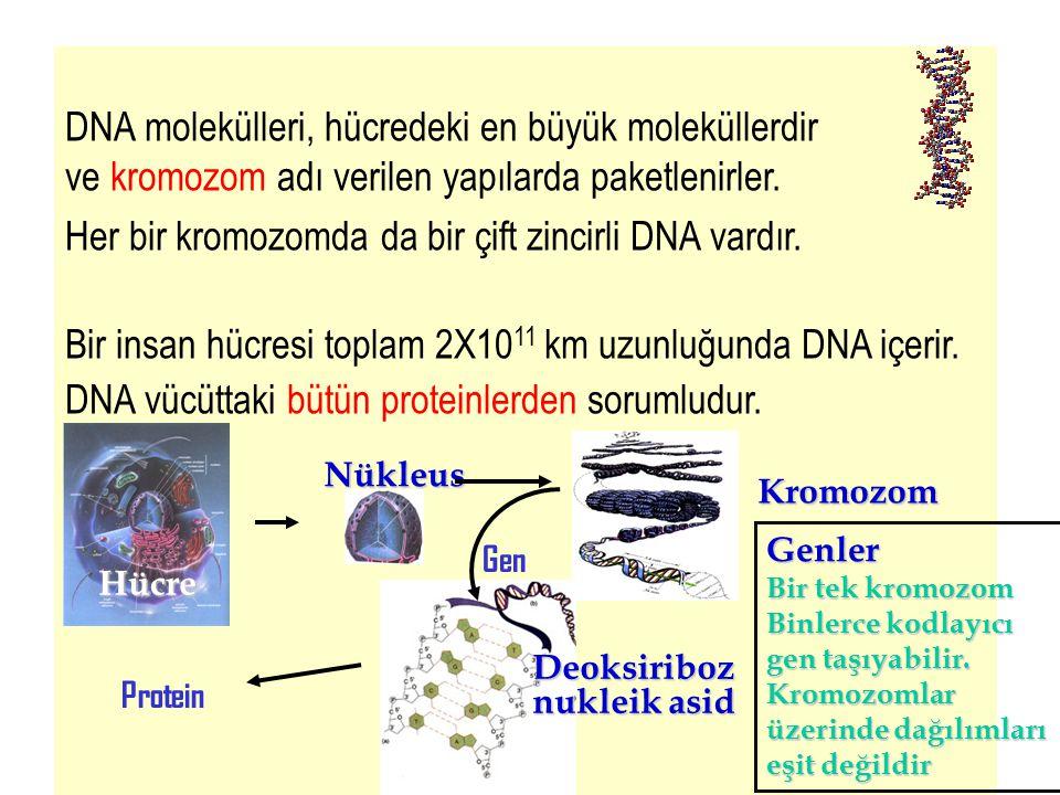 4 DNA molekülleri, hücredeki en büyük moleküllerdir ve kromozom adı verilen yapılarda paketlenirler. Her bir kromozomda da bir çift zincirli DNA vardı