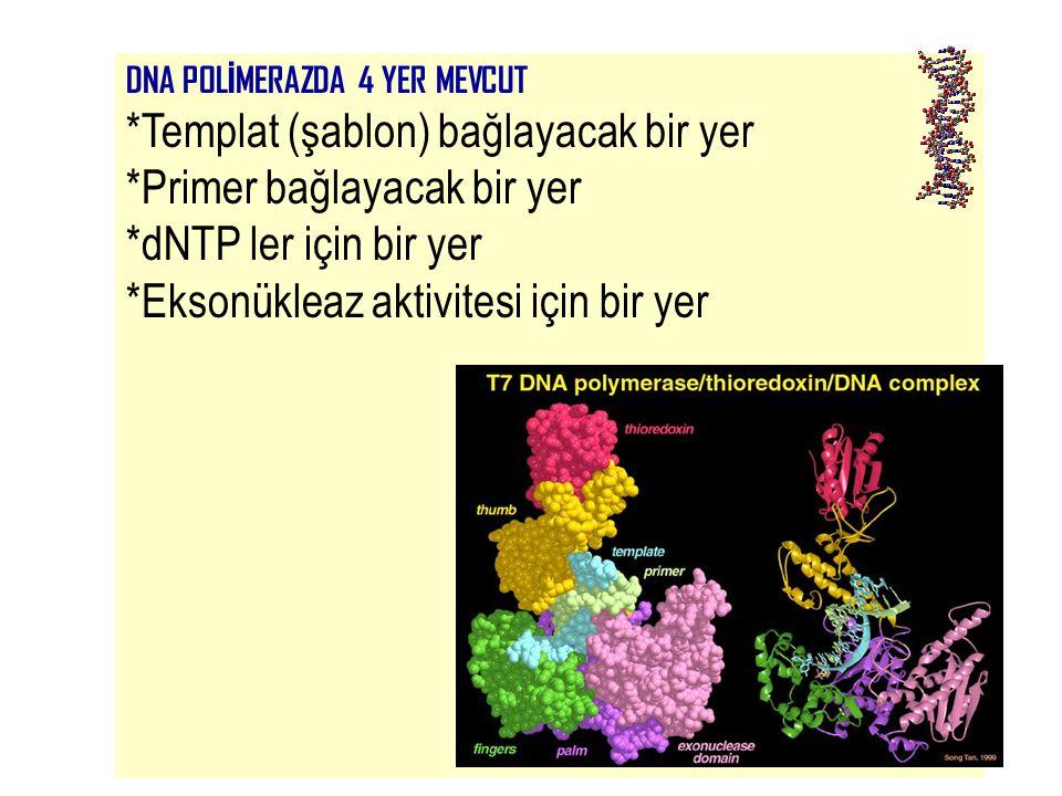42 DNA POL İ MERAZDA 4 YER MEVCUT *Templat (şablon) bağlayacak bir yer *Primer bağlayacak bir yer *dNTP ler için bir yer *Eksonükleaz aktivitesi için