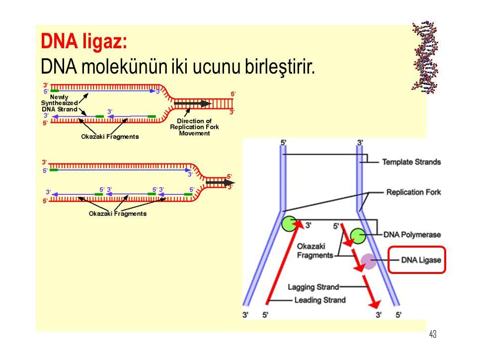 43 DNA ligaz: DNA molekünün iki ucunu birleştirir.