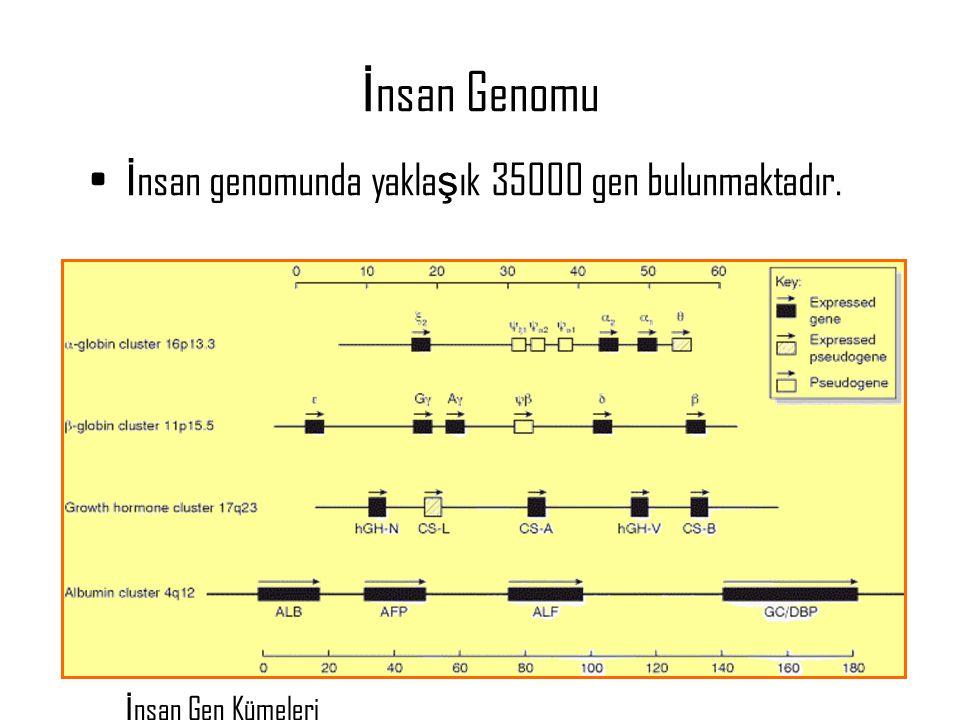 5 İ nsan Genomu İ nsan genomunda yakla ş ık 35000 gen bulunmaktadır. İ nsan Gen Kümeleri