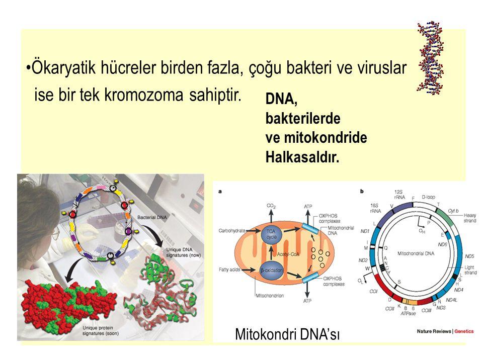 38 DNA POL İ MERAZ III: Primerler üzerine Nükleotidtrifosfatlar arasında internükleotid bağlarını kurar.