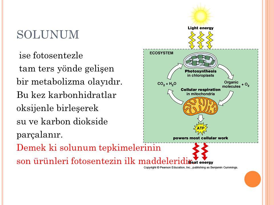 SOLUNUM ise fotosentezle tam ters yönde gelişen bir metabolizma olayıdır. Bu kez karbonhidratlar oksijenle birleşerek su ve karbon diokside parçalanır