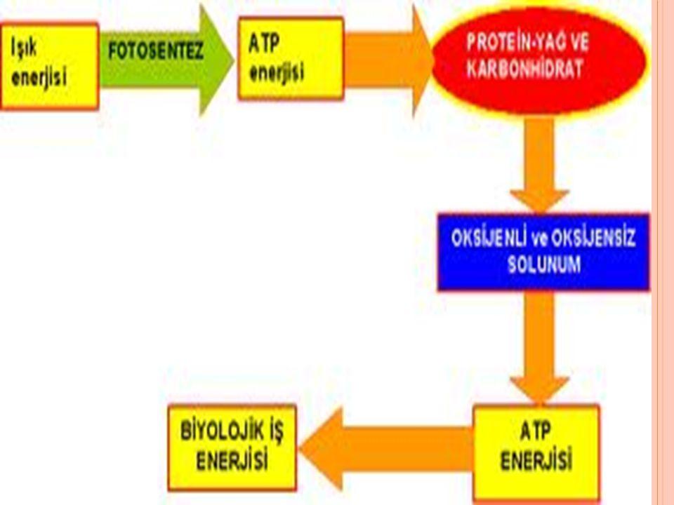 ATP ÜRETİLMESİ Fosforilasyon, genel olarak ATP üretimi anlamına gelmektedir.