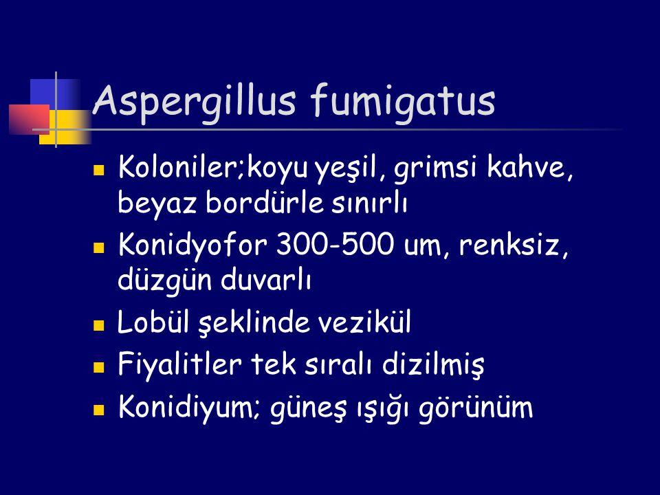 Aspergillus fumigatus Koloniler;koyu yeşil, grimsi kahve, beyaz bordürle sınırlı Konidyofor 300-500 um, renksiz, düzgün duvarlı Lobül şeklinde vezikül