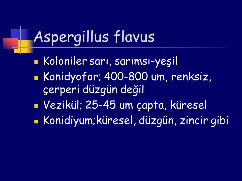 Aspergillus flavus Koloniler sarı, sarımsı-yeşil Konidyofor; 400-800 um, renksiz, çerperi düzgün değil Vezikül; 25-45 um çapta, küresel Konidiyum;küre