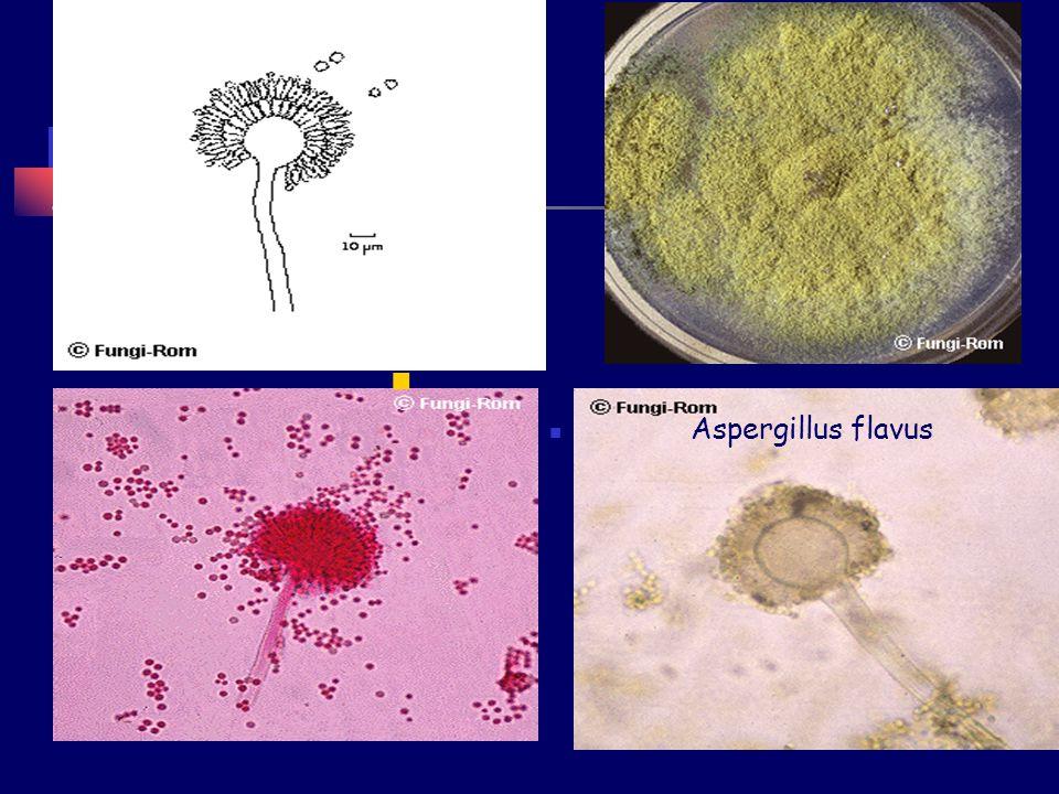 Aspergillus flavus