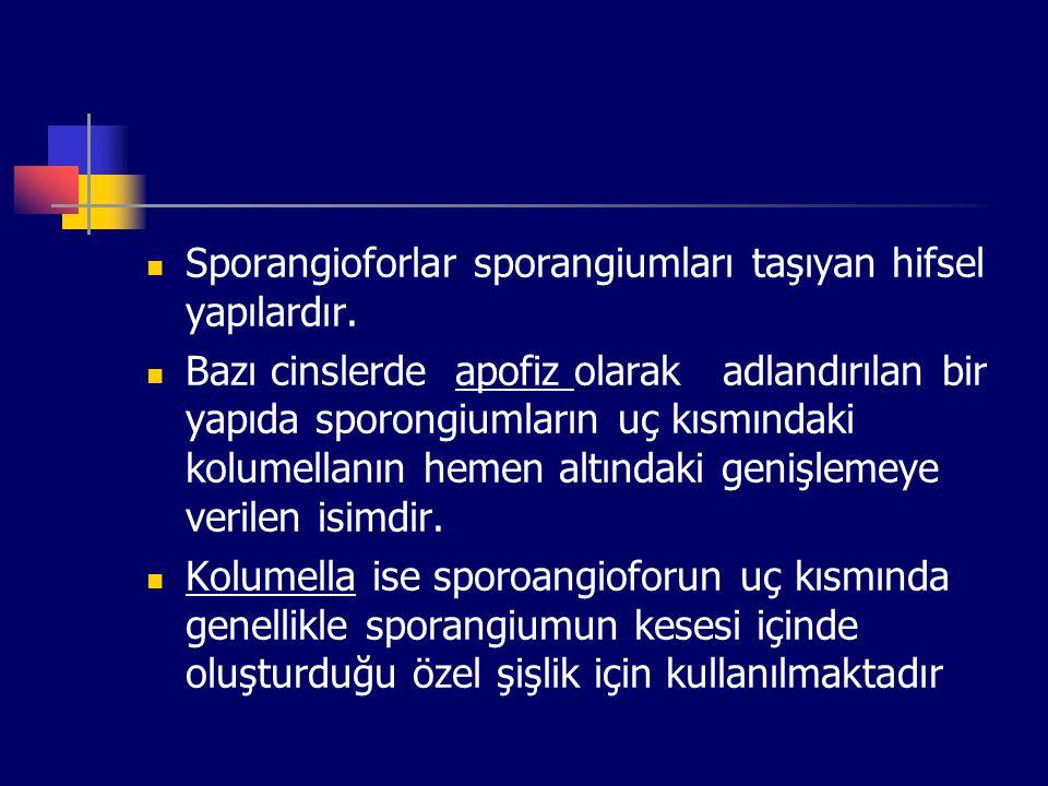 Sporangioforlar sporangiumları taşıyan hifsel yapılardır. Bazı cinslerde apofiz olarak adlandırılan bir yapıda sporongiumların uç kısmındaki kolumella