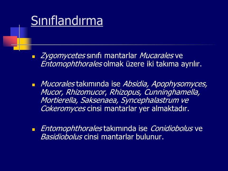 Sınıflandırma Zygomycetes sınıfı mantarlar Mucarales ve Entomophthorales olmak üzere iki takıma ayrılır. Mucorales takımında ise Absidia, Apophysomyce