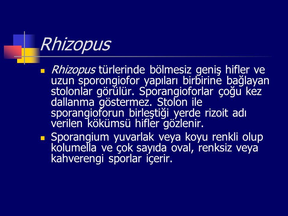 Rhizopus Rhizopus türlerinde bölmesiz geniş hifler ve uzun sporongiofor yapıları birbirine bağlayan stolonlar görülür. Sporangioforlar çoğu kez dallan