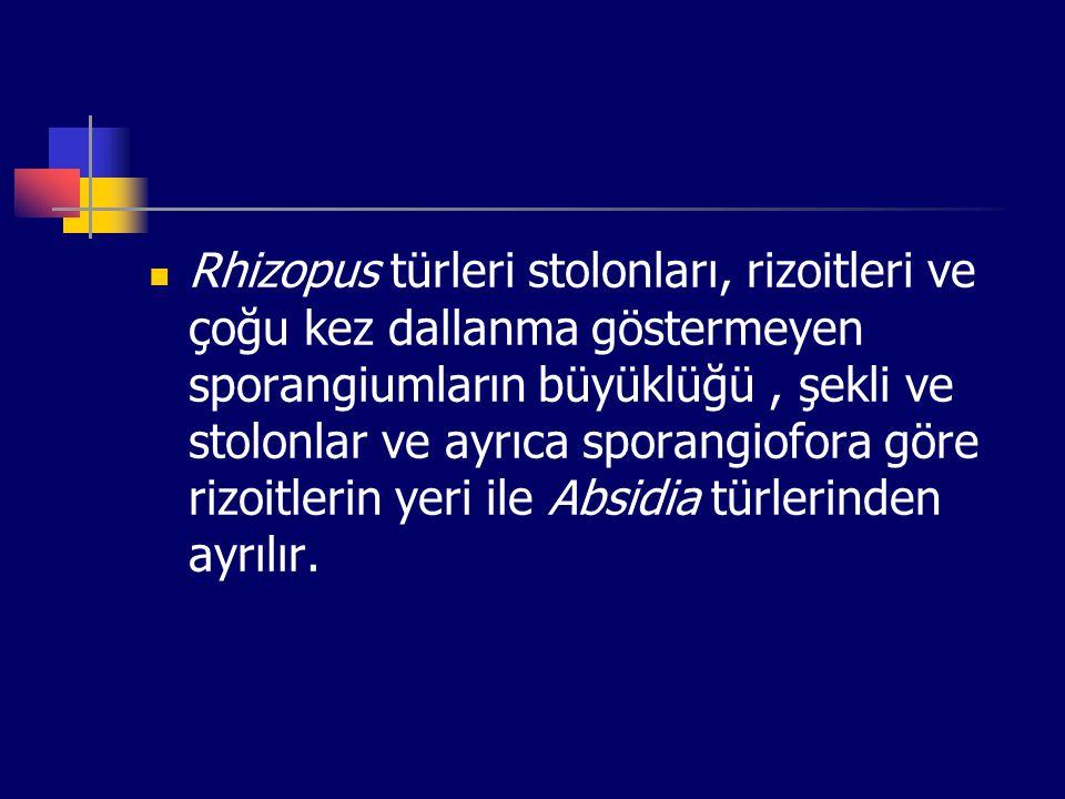 Rhizopus türleri stolonları, rizoitleri ve çoğu kez dallanma göstermeyen sporangiumların büyüklüğü, şekli ve stolonlar ve ayrıca sporangiofora göre ri