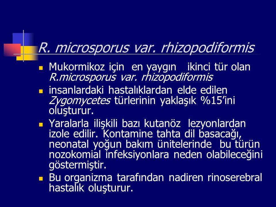 R. microsporus var. rhizopodiformis Mukormikoz için en yaygın ikinci tür olan R.microsporus var. rhizopodiformis insanlardaki hastalıklardan elde edil