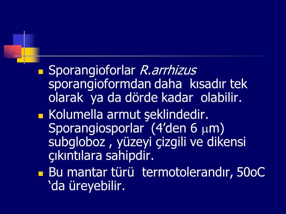 Sporangioforlar R.arrhizus sporangioformdan daha kısadır tek olarak ya da dörde kadar olabilir. Kolumella armut şeklindedir. Sporangiosporlar (4'den 6