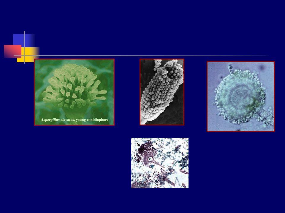 Aspergillus flavus Koloniler sarı, sarımsı-yeşil Konidyofor; 400-800 um, renksiz, çerperi düzgün değil Vezikül; 25-45 um çapta, küresel Konidiyum;küresel, düzgün, zincir gibi