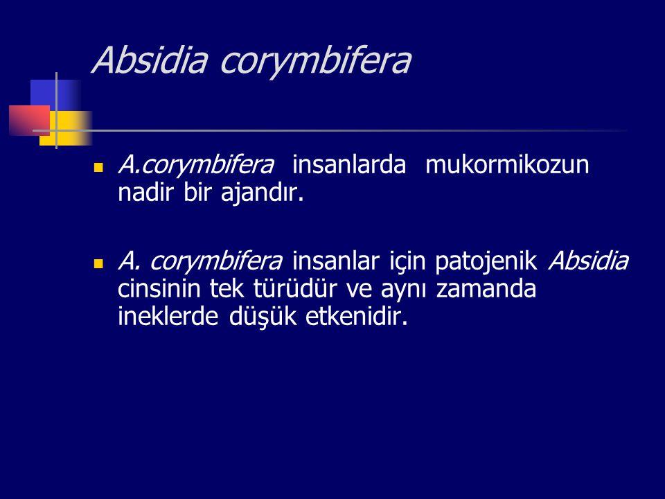 Absidia corymbifera A.corymbifera insanlarda mukormikozun nadir bir ajandır. A. corymbifera insanlar için patojenik Absidia cinsinin tek türüdür ve ay