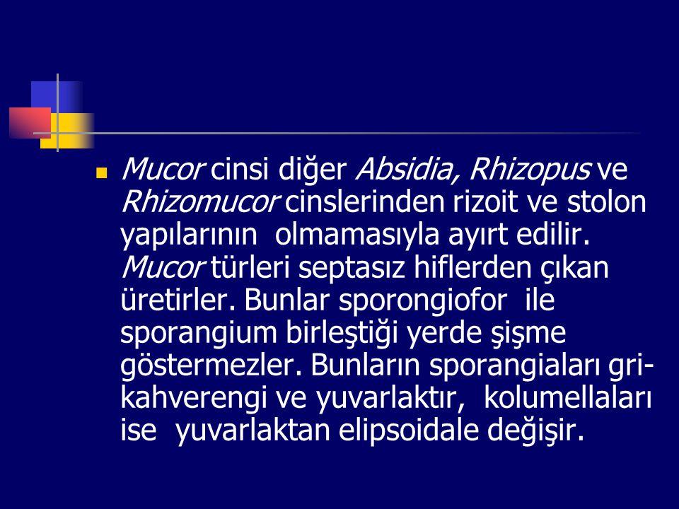 Mucor cinsi diğer Absidia, Rhizopus ve Rhizomucor cinslerinden rizoit ve stolon yapılarının olmamasıyla ayırt edilir. Mucor türleri septasız hiflerden