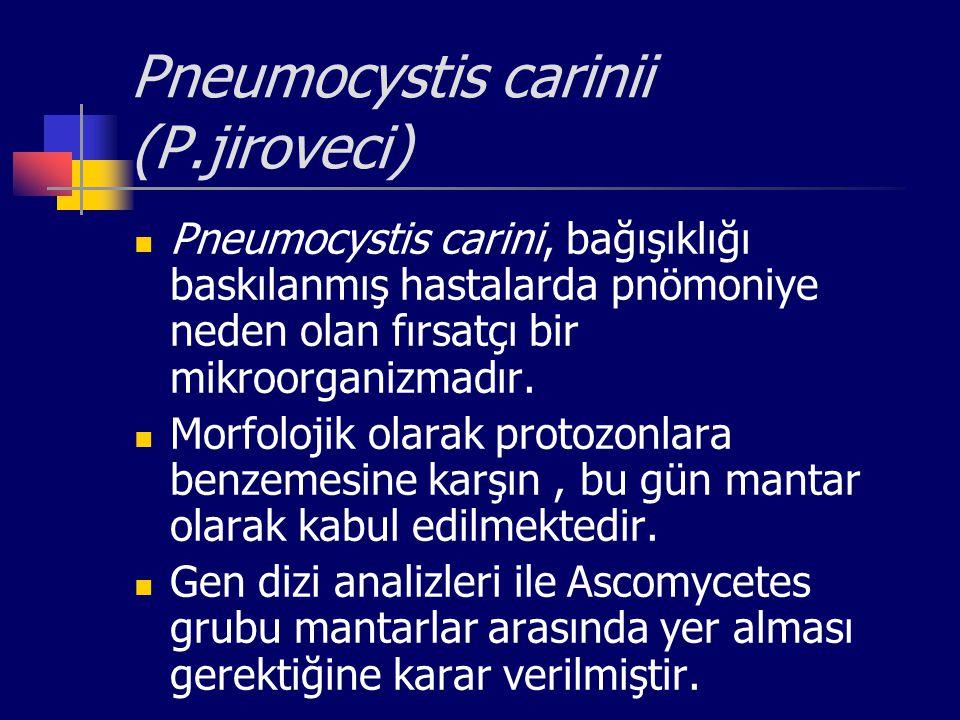 Pneumocystis carinii (P.jiroveci) Pneumocystis carini, bağışıklığı baskılanmış hastalarda pnömoniye neden olan fırsatçı bir mikroorganizmadır. Morfolo