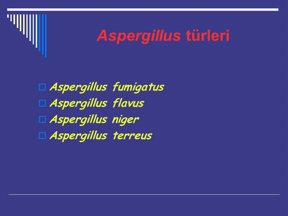 Aspergillus türleri  Aspergillus fumigatus  Aspergillus flavus  Aspergillus niger  Aspergillus terreus