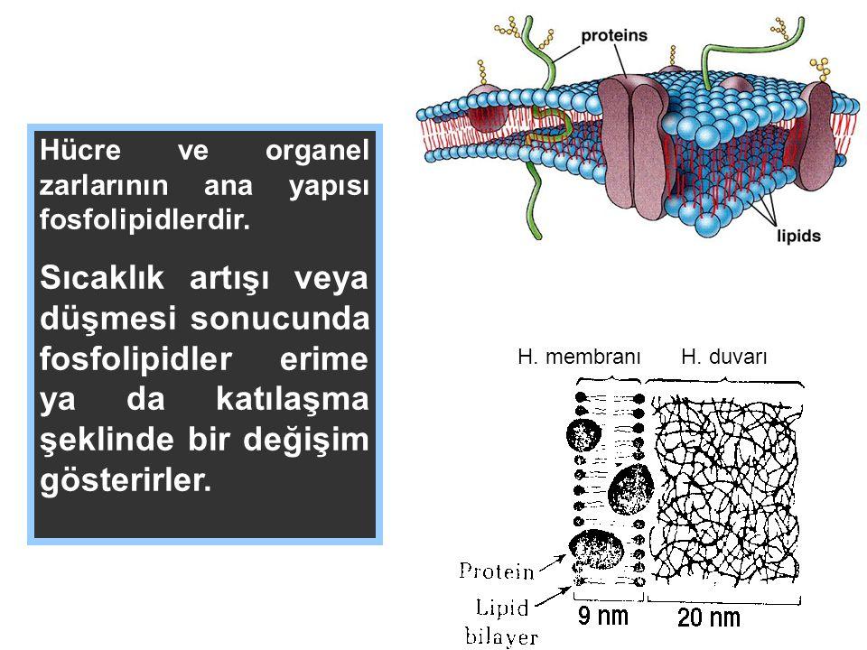 H. membranıH. duvarı Hücre ve organel zarlarının ana yapısı fosfolipidlerdir. Sıcaklık artışı veya düşmesi sonucunda fosfolipidler erime ya da katılaş