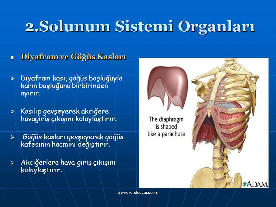 www.fendosyasi.com 2.Solunum Sistemi Organları 2.Solunum Sistemi Organları Diyafram ve Göğüs Kasları Diyafram ve Göğüs Kasları   Diyafram kası, göğü