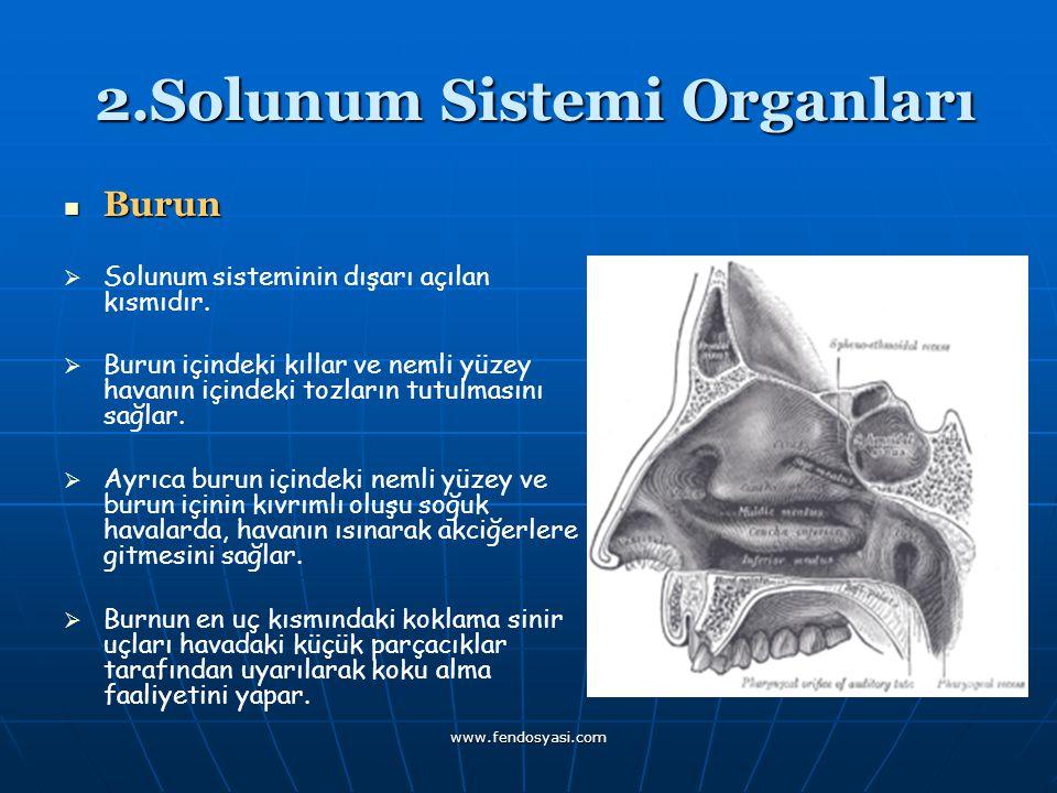 www.fendosyasi.com 2.Solunum Sistemi Organları 2.Solunum Sistemi Organları Burun SSolunum sisteminin dışarı açılan kısmıdır. BBurun içindeki k