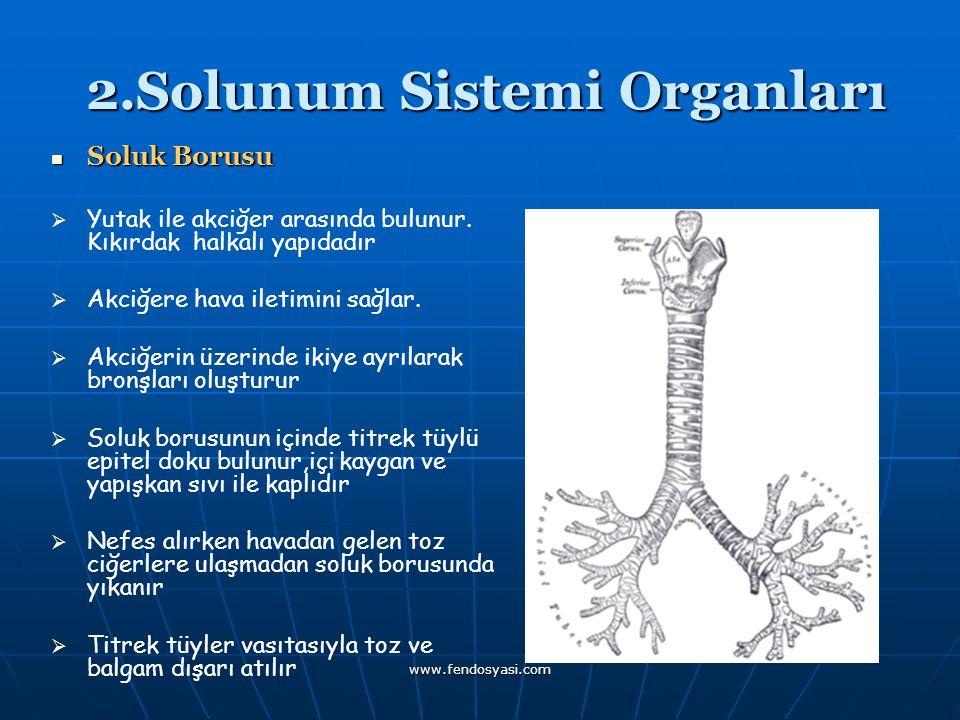 www.fendosyasi.com 2.Solunum Sistemi Organları 2.Solunum Sistemi Organları Soluk Borusu Soluk Borusu   Yutak ile akciğer arasında bulunur. Kıkırdak
