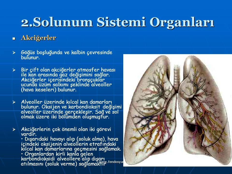 www.fendosyasi.com 2.Solunum Sistemi Organları 2.Solunum Sistemi Organları Akciğerler Akciğerler   Göğüs boşluğunda ve kalbin çevresinde bulunur. 