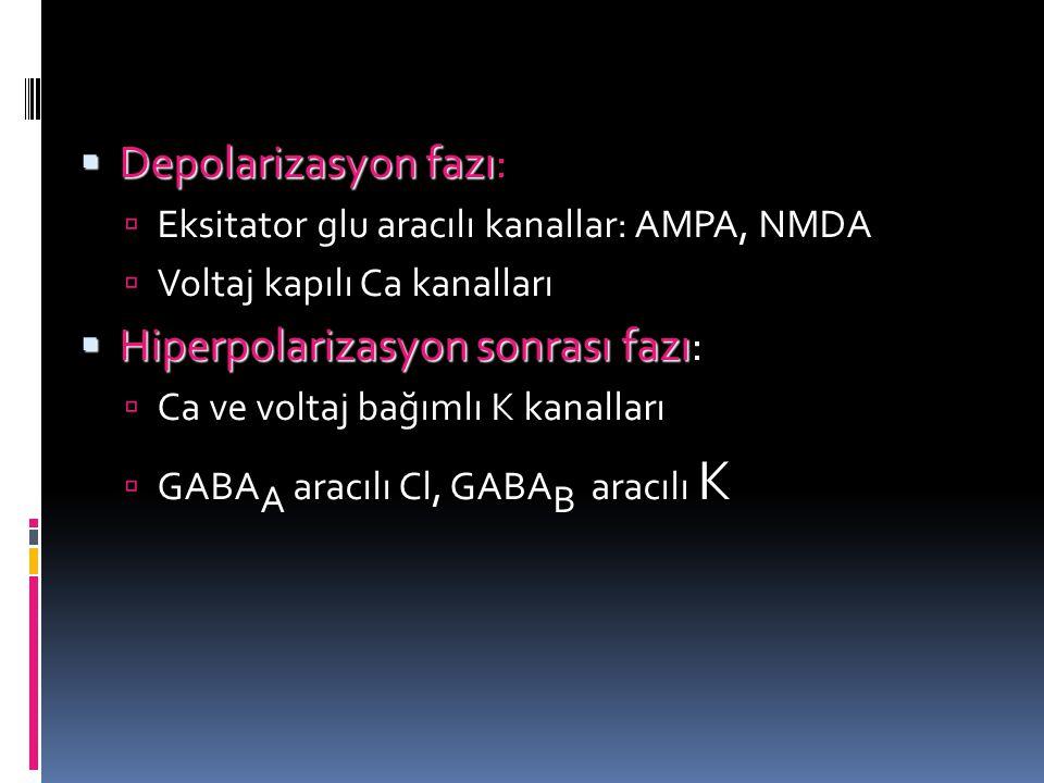  Depolarizasyon fazı  Depolarizasyon fazı:  Eksitator glu aracılı kanallar: AMPA, NMDA  Voltaj kapılı Ca kanalları  Hiperpolarizasyon sonrası faz