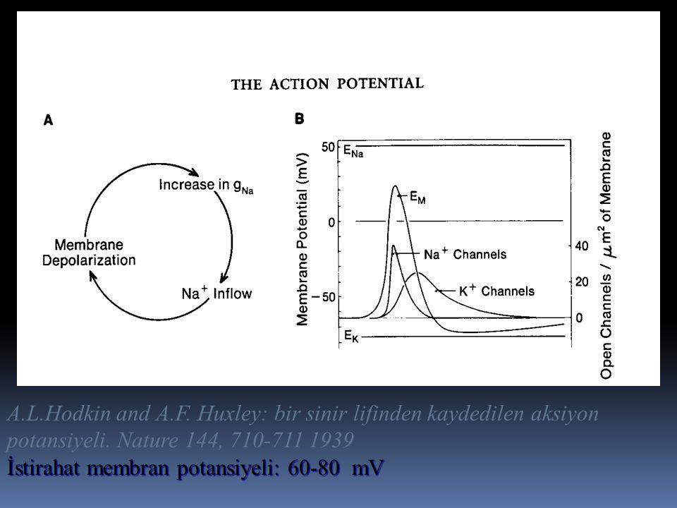 A.L.Hodkin and A.F. Huxley: bir sinir lifinden kaydedilen aksiyon potansiyeli. Nature 144, 710-711 1939 İstirahat membran potansiyeli: 60-80 mV