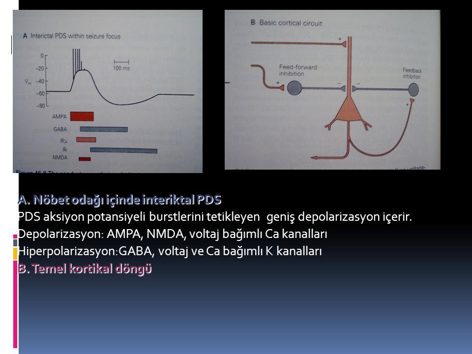 A. Nöbet odağı içinde interiktal PDS PDS aksiyon potansiyeli burstlerini tetikleyen geniş depolarizasyon içerir. Depolarizasyon: AMPA, NMDA, voltaj ba
