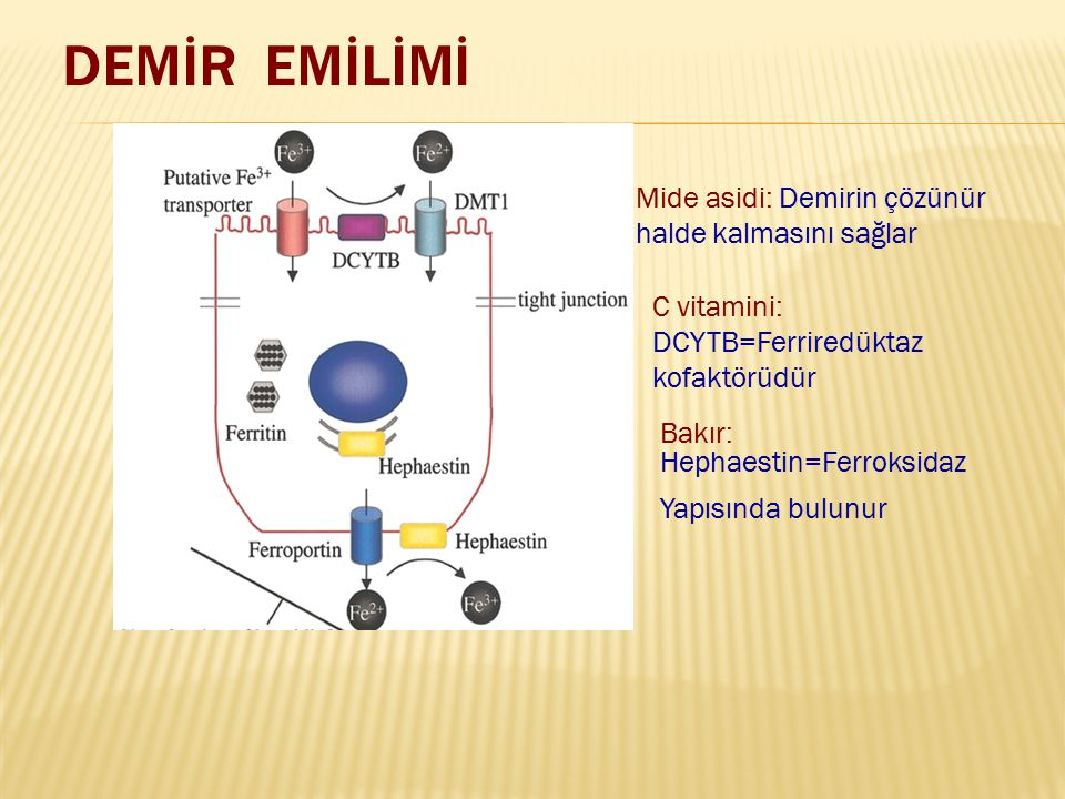 DEMİR EMİLİMİ Mide asidi: Demirin çözünür halde kalmasını sağlar C vitamini: DCYTB=Ferriredüktaz kofaktörüdür Bakır: Hephaestin=Ferroksidaz Yapısında
