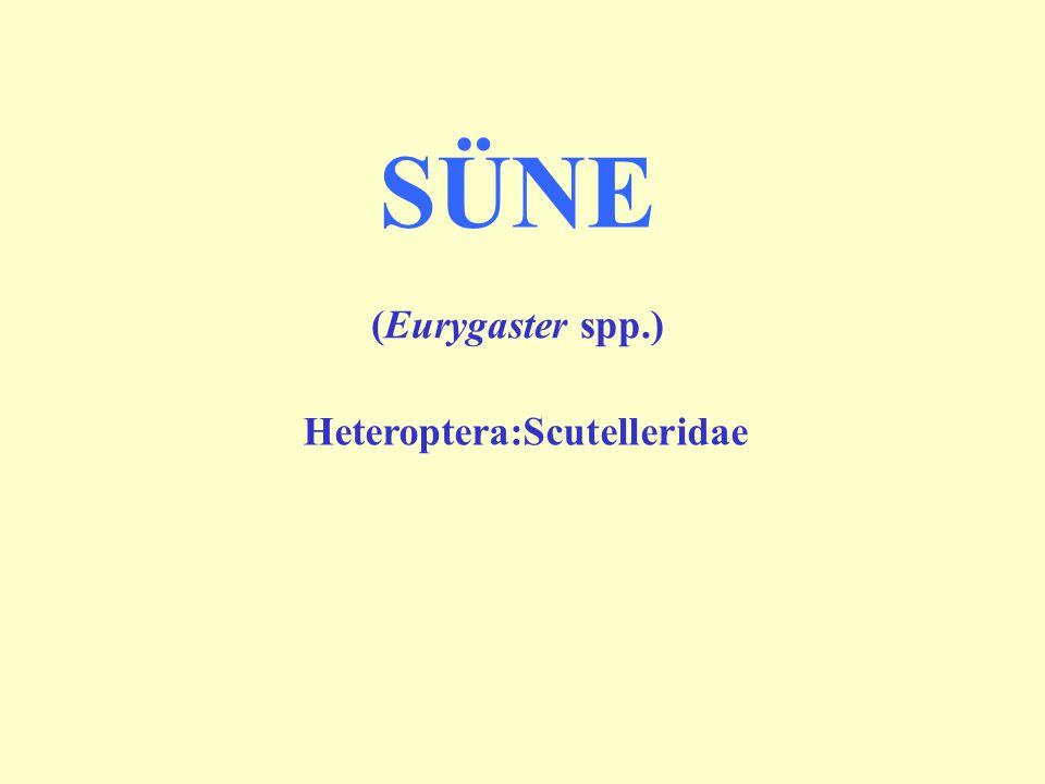 SÜNE (Eurygaster spp.) Heteroptera:Scutelleridae