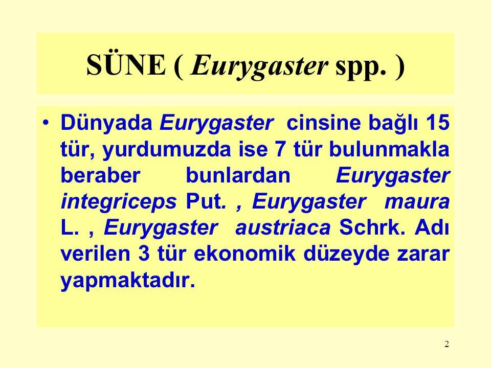 2 SÜNE ( Eurygaster spp. ) Dünyada Eurygaster cinsine bağlı 15 tür, yurdumuzda ise 7 tür bulunmakla beraber bunlardan Eurygaster integriceps Put., Eur