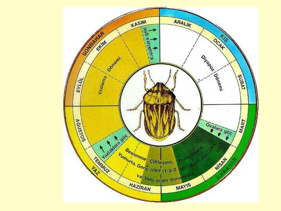 KIŞLAMA YERLERİ Süne  Kışlak Flora çeşidi  Bitki türlerinin altında gizlenme Meşe  Yere dökülmüş yaprakların altında Geven, Kirpigeven, Kirpiotu  Kök etrafında yumuşak toprak içinde ( 2-4 cm derinlikte ) Diğer otumsu bitkiler ( ayı kulağı vs )  kök etrafı- köke yakın toprak içinde
