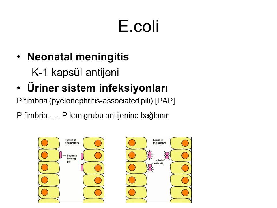 E.coli Neonatal meningitis K-1 kapsül antijeni Üriner sistem infeksiyonları P fimbria (pyelonephritis-associated pili) [PAP] P fimbria..... P kan grub