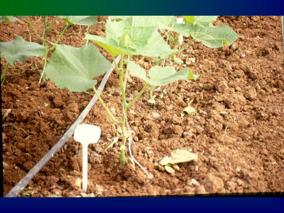 HASAT VE VERİM Hıyar meyveleri normal çeşit iriliğinin 2/3' ne ulaştığında hasat edilebilir.