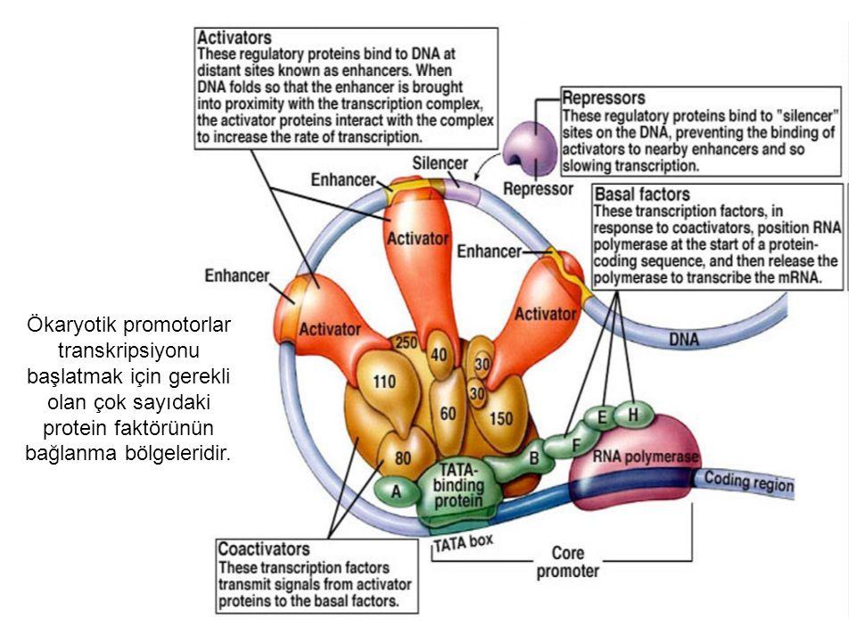 Ökaryotik promotorlar transkripsiyonu başlatmak için gerekli olan çok sayıdaki protein faktörünün bağlanma bölgeleridir.