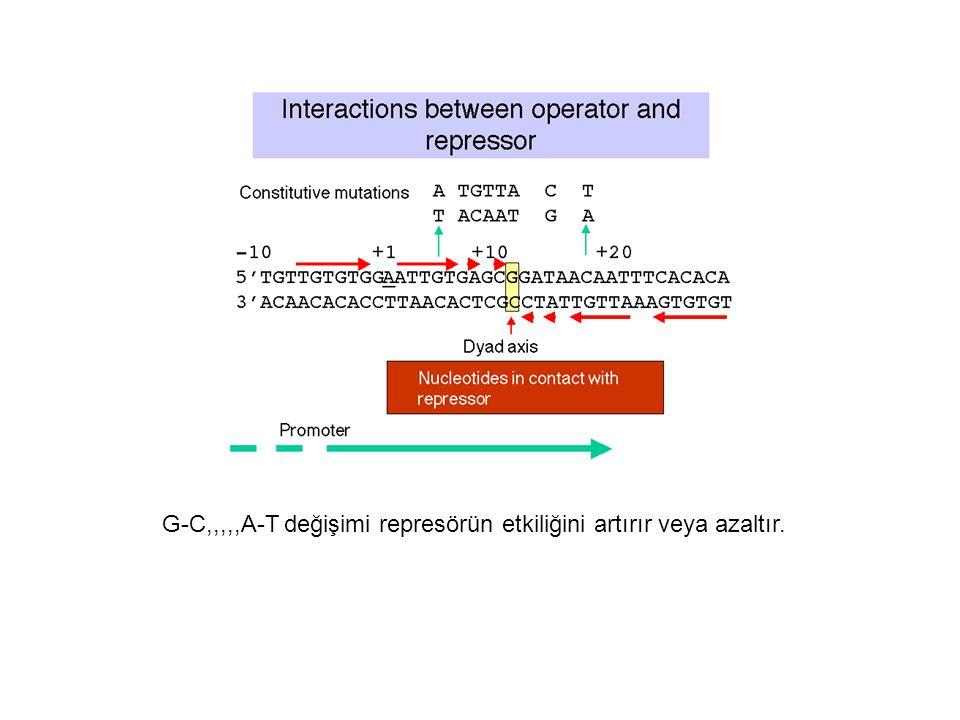 G-C,,,,,A-T değişimi represörün etkiliğini artırır veya azaltır.