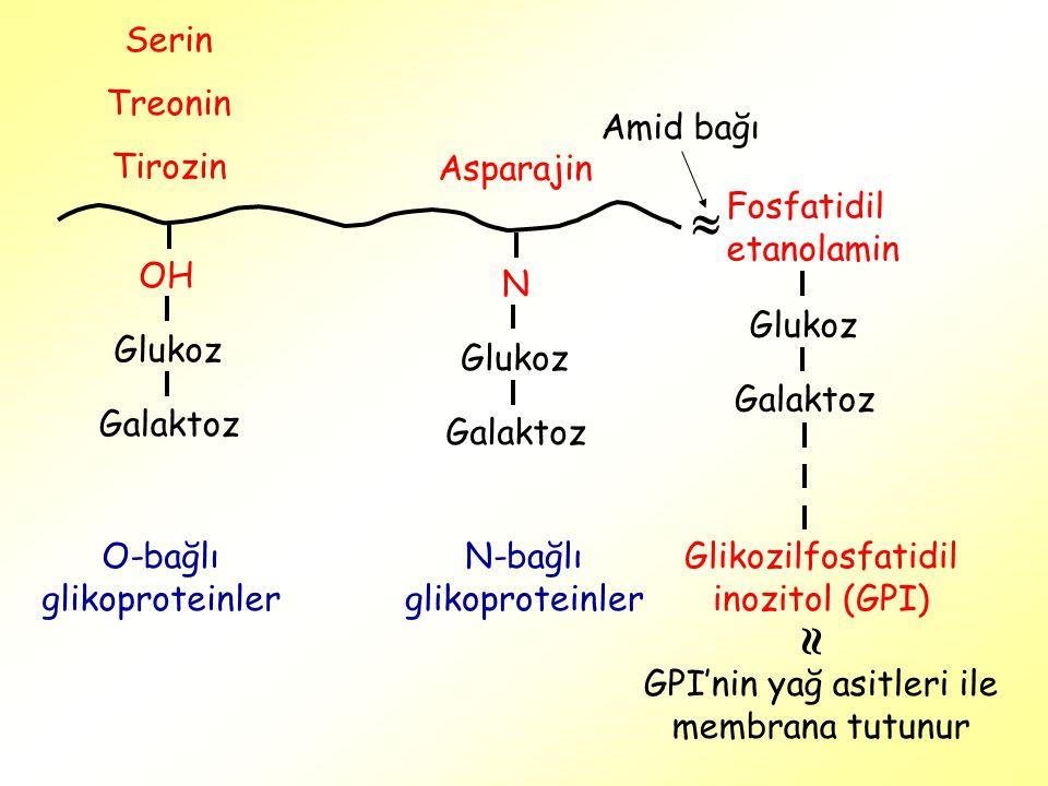 Serin Treonin Tirozin OH Glukoz Galaktoz N Glukoz Galaktoz Asparajin O-bağlı glikoproteinler N-bağlı glikoproteinler Fosfatidil etanolamin  Amid bağı