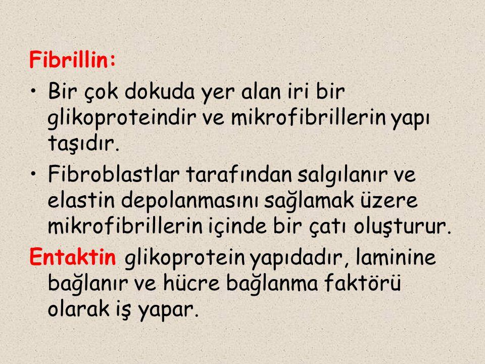 Fibrillin: Bir çok dokuda yer alan iri bir glikoproteindir ve mikrofibrillerin yapı taşıdır. Fibroblastlar tarafından salgılanır ve elastin depolanmas