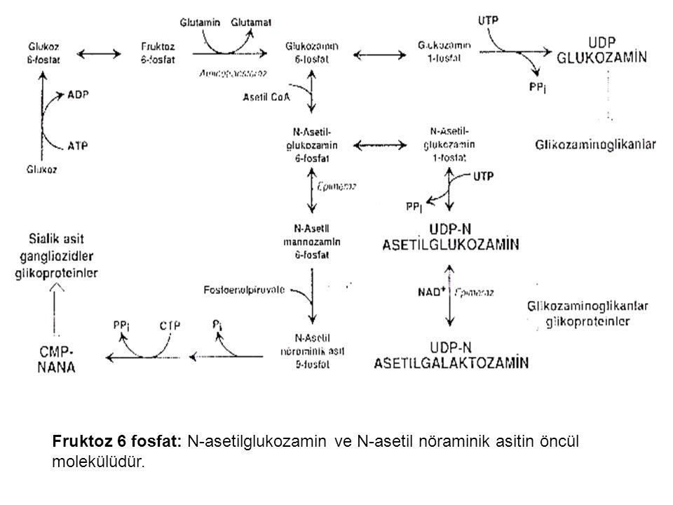 Fruktoz 6 fosfat: N-asetilglukozamin ve N-asetil nöraminik asitin öncül molekülüdür.