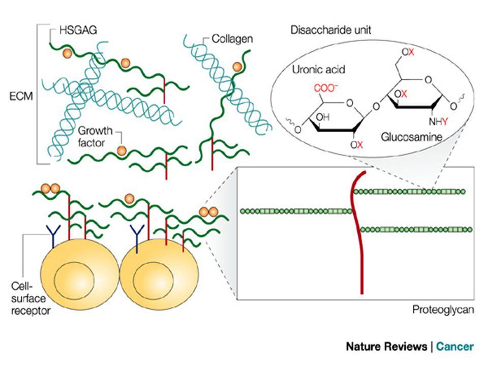 Ekstraselliler matriksin diğer glikoproteinleri Fibronektin: Kollajen sentezleyen hücreler hücre yüzeyinde, hücre dışı yatakta ve kanda bulunan iri bir glikoprotein olan fibronektin salgılarlar.