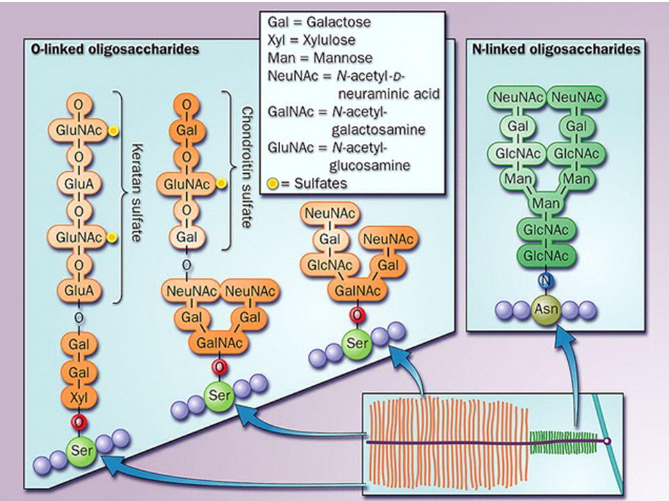 Glikoproteinler tarafından gerçekleştirilen bazı işlevler Çatı molekülüKollajenler Kaydırıcı ve koruyucu ajanMüsinler Taşıma molekülüTransferrin, serüloplazmin İmmünolojik moleküllerIg, doku uyuşmazlık antijenleri HormonhCG, TSH EnzimALP Özgül kh'larla etkileşimBazı lektinler
