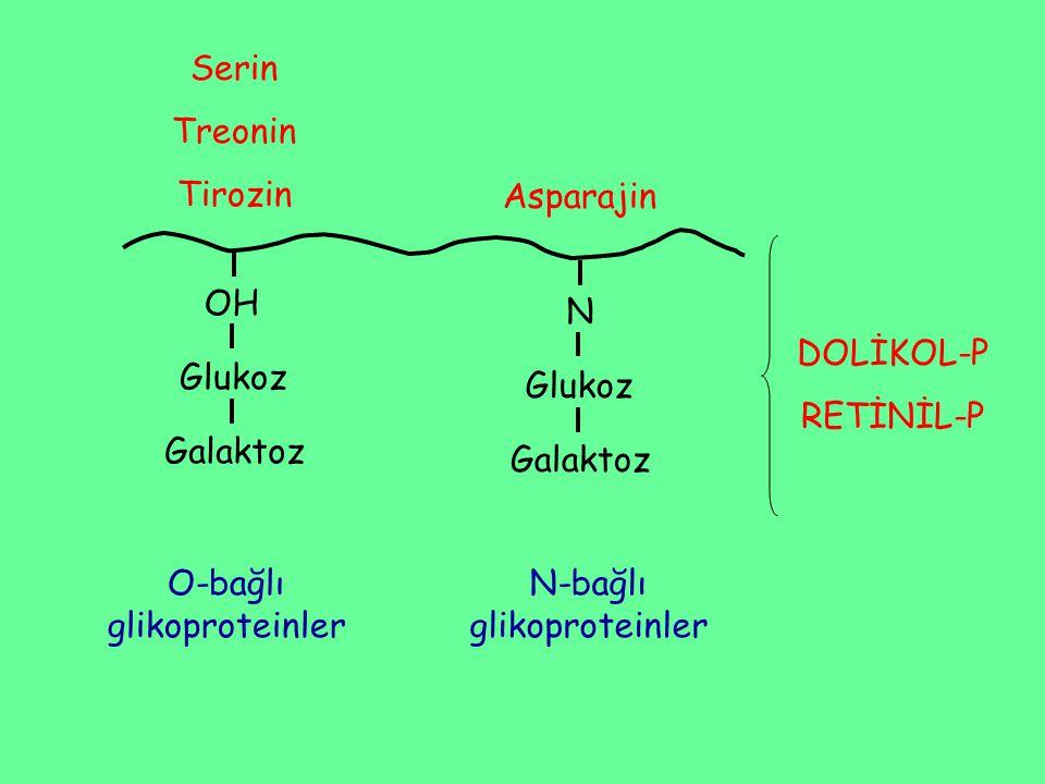 Serin Treonin Tirozin OH Glukoz Galaktoz N Glukoz Galaktoz Asparajin O-bağlı glikoproteinler N-bağlı glikoproteinler DOLİKOL-P RETİNİL-P