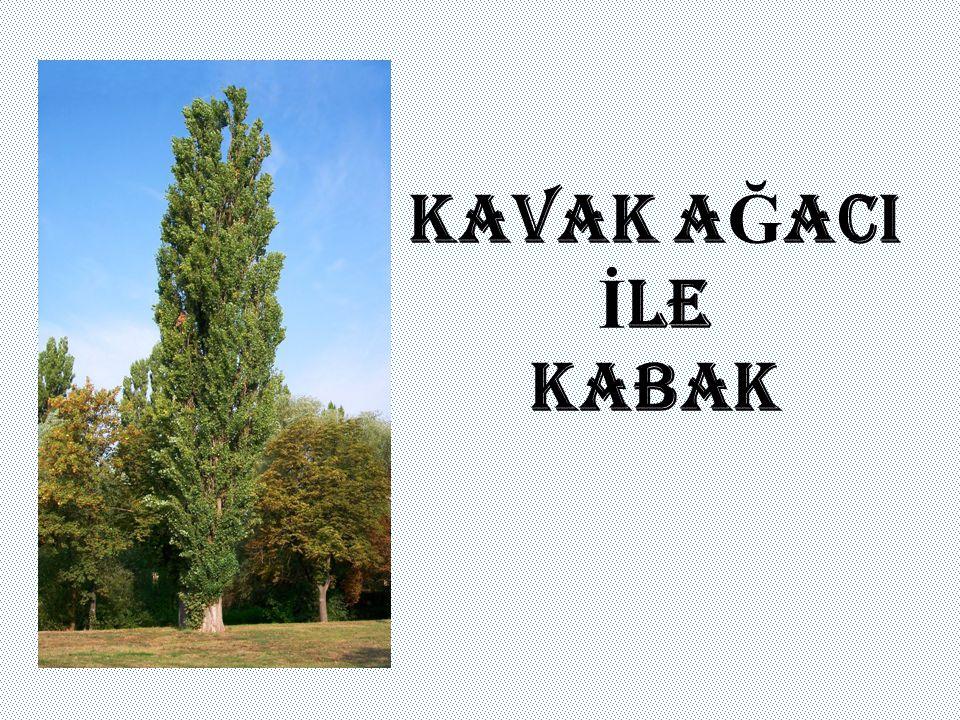 Bir kavak ağacının yanında bir kabak filizi boy göstermişti.