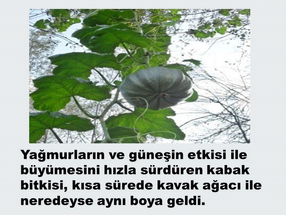Yağmurların ve güneşin etkisi ile büyümesini hızla sürdüren kabak bitkisi, kısa sürede kavak ağacı ile neredeyse aynı boya geldi.