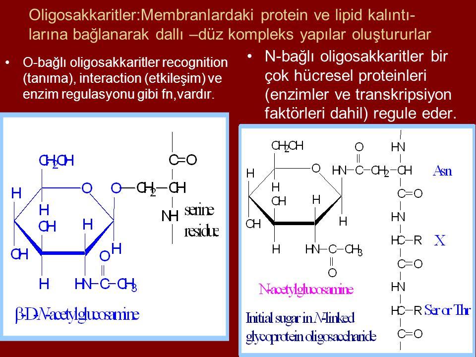 Oligosakkaritler:Membranlardaki protein ve lipid kalıntı- larına bağlanarak dallı –düz kompleks yapılar oluştururlar O-bağlı oligosakkaritler recognit