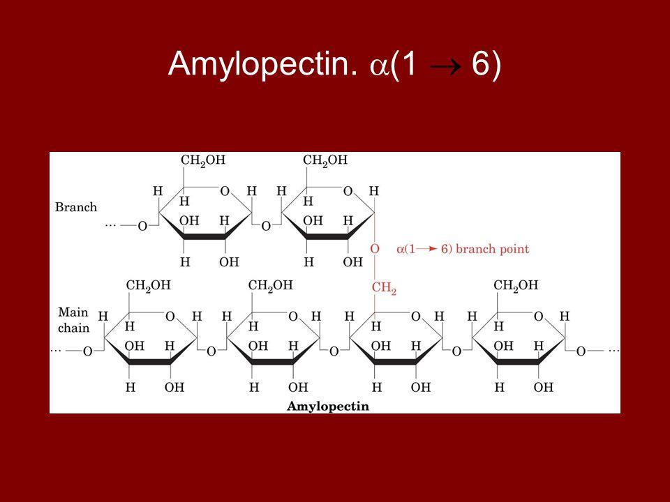 Amylopectin.  (1  6)